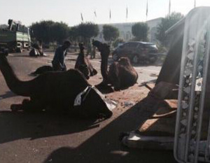 Truck transporting camels overturns in 19-car pile up
