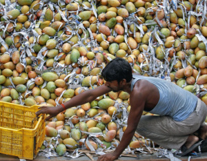 Emirates SkyCargo flies more than 6-million mangoes out of India