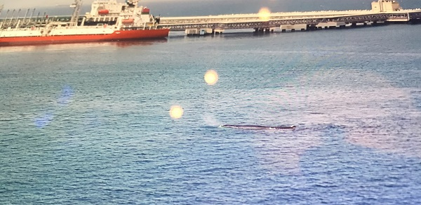 Port officials were reportedly concerned for the whale's safety due to the commercial traffic within the port.
