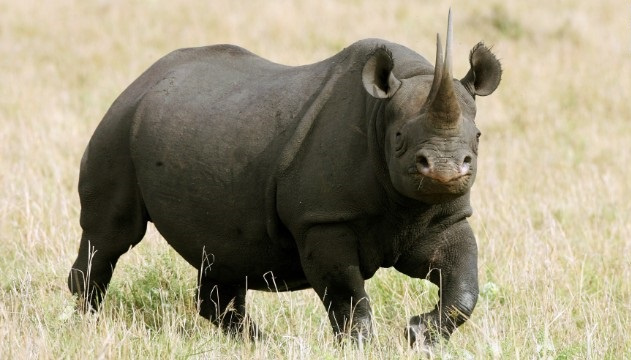 Estimates suggest there are fewer than 5,500 black rhinos in the world, all of them in Africa and some 750 in Kenya.